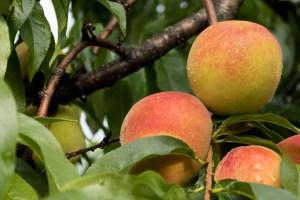 Bechdolt Orchard peaches