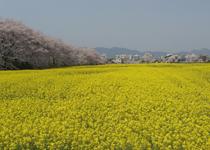 菜の花 橿原市