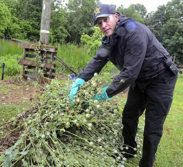 Authorities had to pull nearly an acre's worth of poppy plants out of the ground.jpg