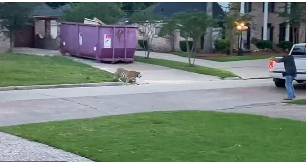 This image has an empty alt attribute; its file name is Tiger-on-the-loose-in-quiet-residential-neighborhood-in-West-Houston-TX-1.jpg