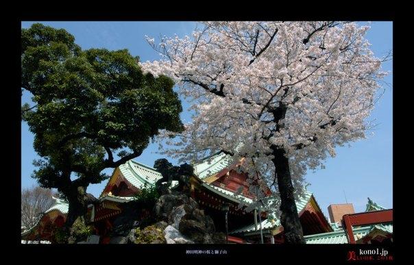 神田明神の桜03