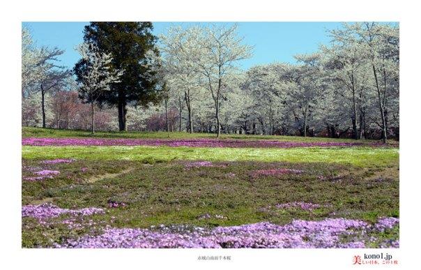 赤城山南面千本桜04