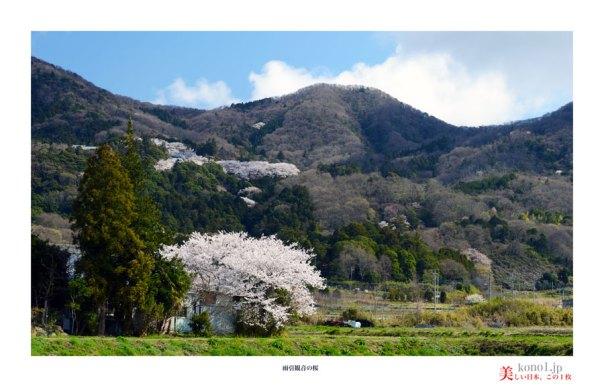 雨引観音の桜02