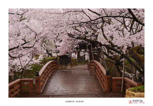 高遠城趾桜01