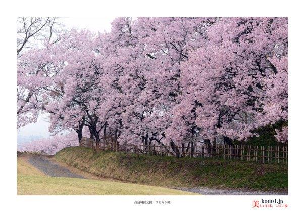 高遠城趾桜03