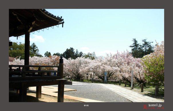 仁和寺御室桜05