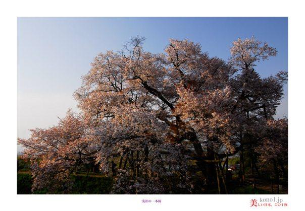 浅井の一本桜01