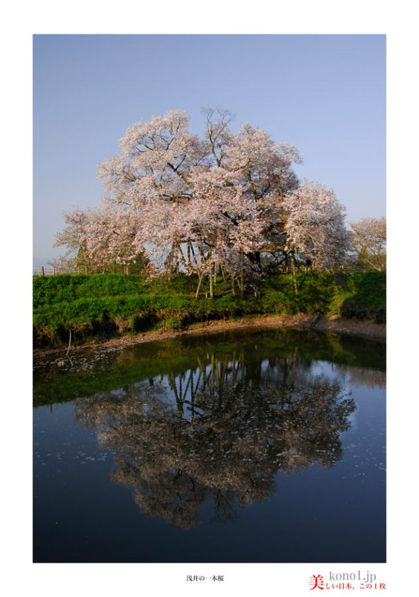 浅井の一本桜04