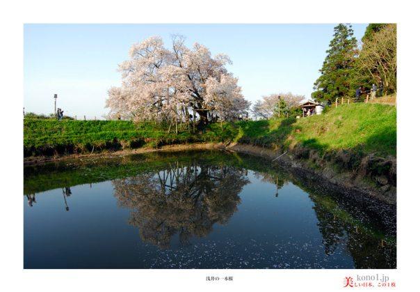 浅井の一本桜05