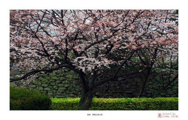 福岡舞鶴公園の桜01