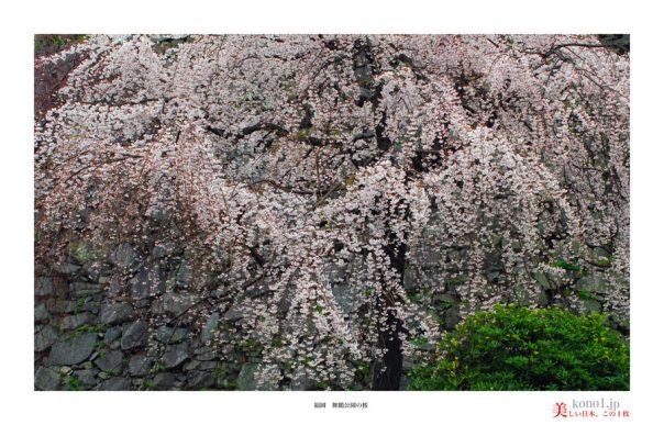 福岡舞鶴公園の桜03