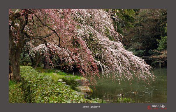 近衛邸跡の桜01