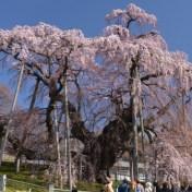 福島県三春町 三春の滝桜 紅しだれ桜 日本五大桜 日本三大巨桜
