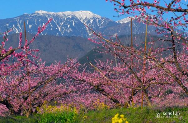 山梨県韮崎市 新府城跡 桃の花 八ヶ岳
