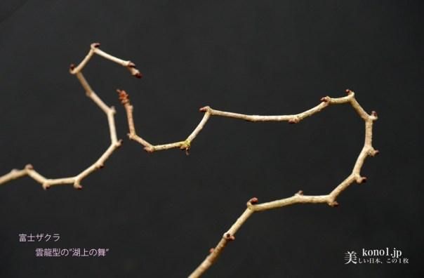 富士桜 フジザクラ 湖上の舞 雲龍