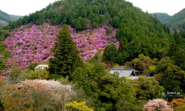 京都 西明寺 周山街道 ミツバツツジ ヤマザクラ