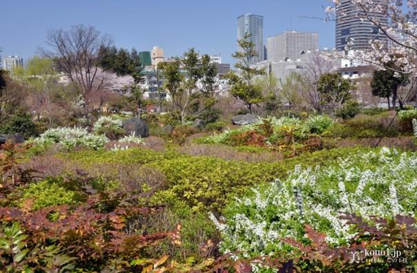 東京ミッドタウンの桜115