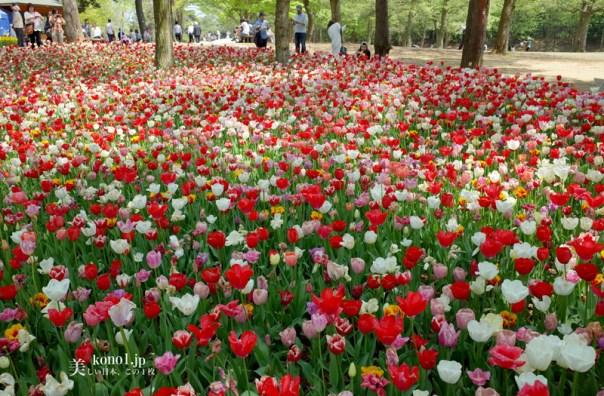 茨城県 国立ひたち海浜公園 チーリップ 広場