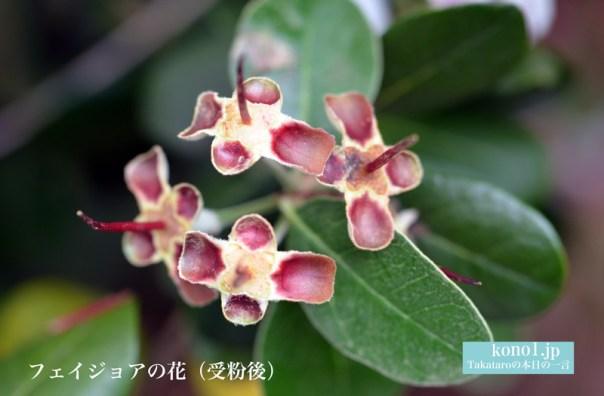フェイジョア フトモモ科 食用花 アポロ クーリッジ マンモス トライアンフ 受粉