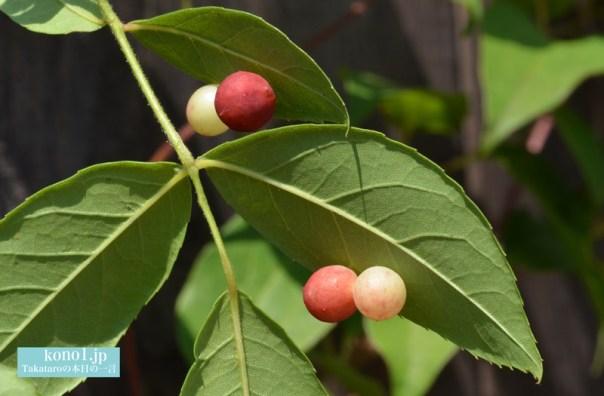 バラハタマフシ 虫こぶ 丸い玉 赤