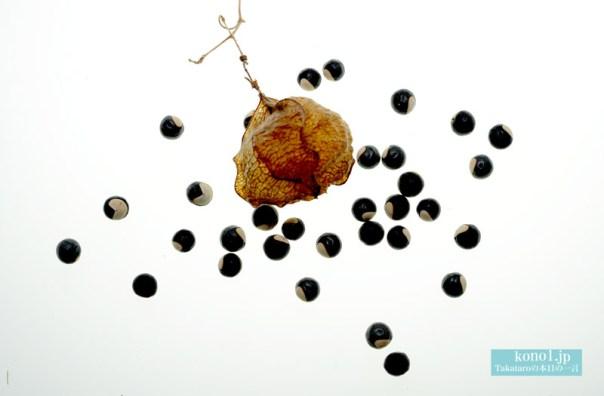 フウセンカズラ フーセンカズラ 緑の袋 かわいい種