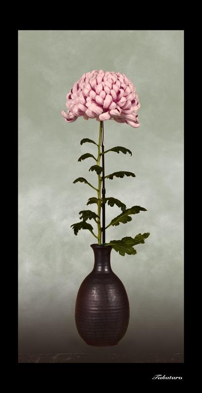 日本の菊 大輪