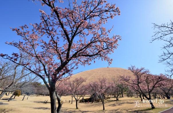 大室山 伊東市 スコリア丘 さくらの里 寒桜