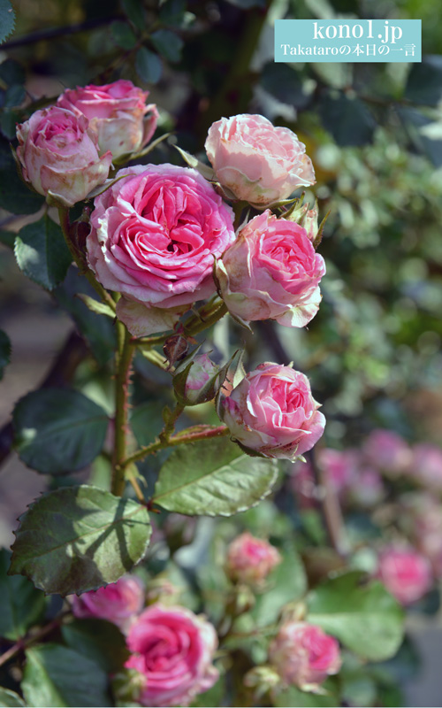ミミエデン ツルバラ ピンク 美しい かわいい