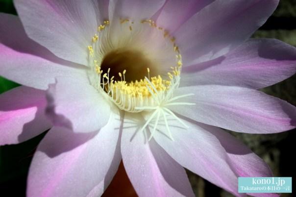 サボテンの花 品種は ロビオプシスかな?