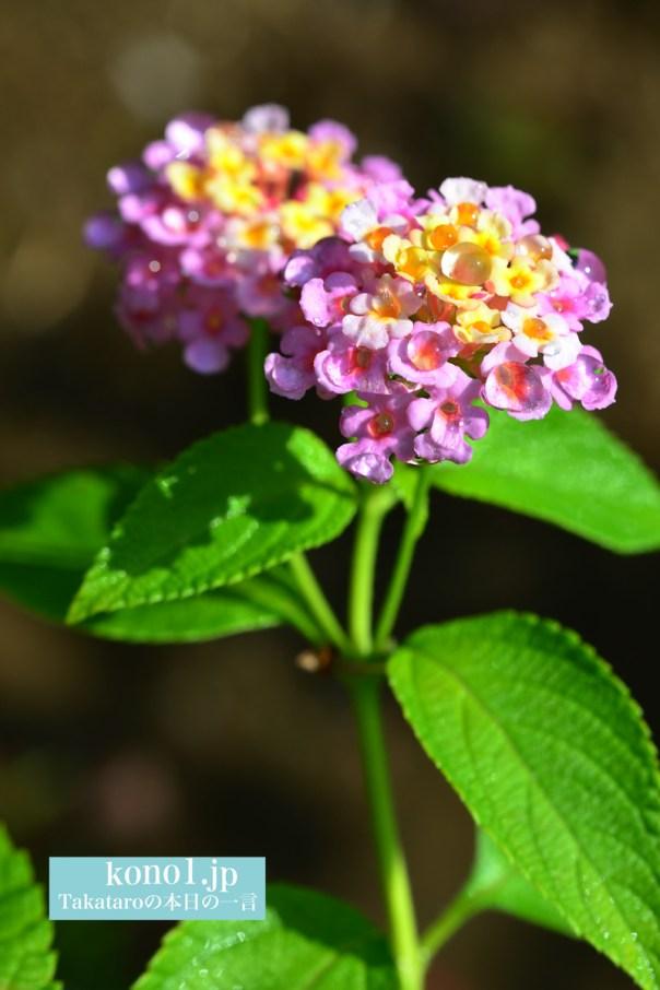 ランタナという花 雑草 雨上がりの水滴 美しい