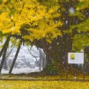 西蓮寺 大イチョウ 大雪 雪景色 茨城県
