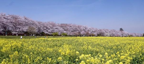 権現堂堤の桜 菜の花 埼玉県幸手市 千本桜 フォトジェニック 絶景