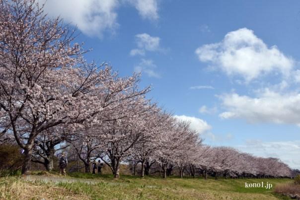 福岡堰の桜並木 さくら名所 小貝川 茨城県 つくばみらい
