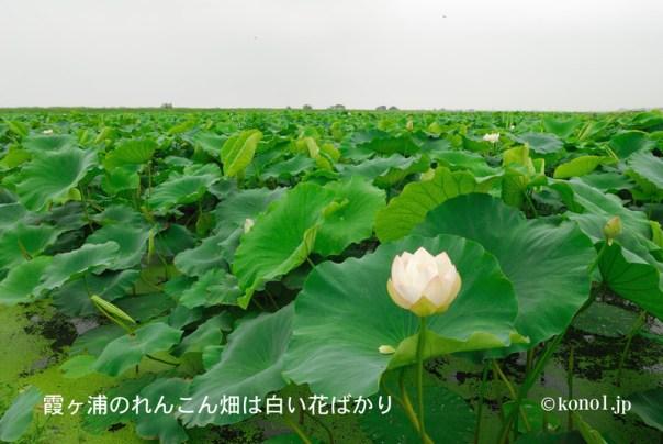 霞ヶ浦のれんこん畑と白いハスの花