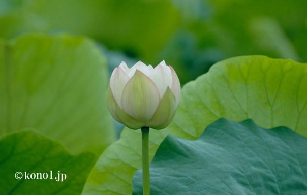 霞ヶ浦 蓮根 レンコン 白い花