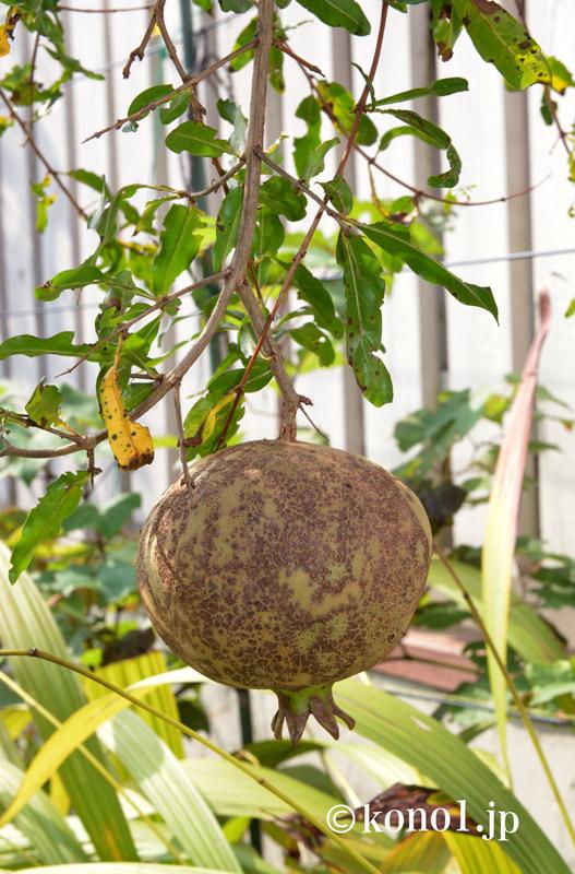 種なしザクロ スウィートハニー 大実 樹形 美味しい 甘い 酸っぱくない