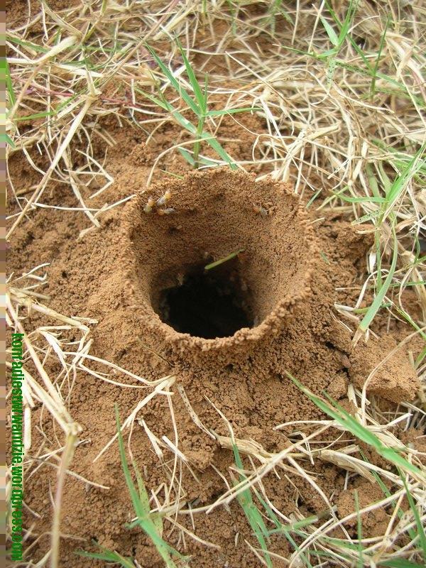 Mała termitiera