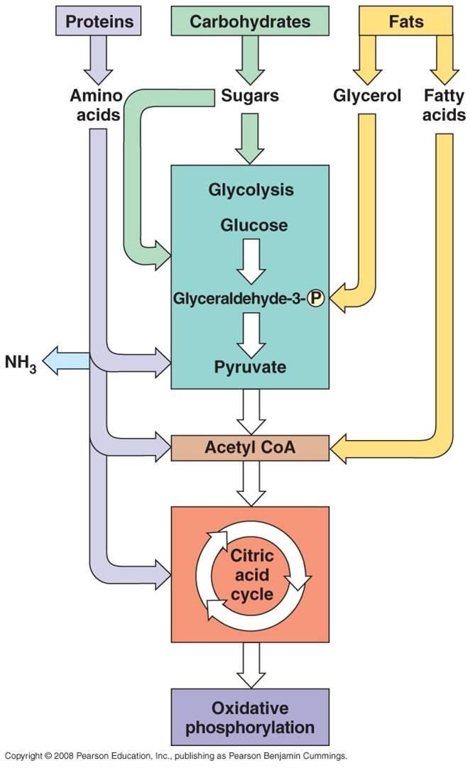 Proses Katabolisme Karbohidrat : proses, katabolisme, karbohidrat, Hubungan, Katabolisme, Lipid,, Karbohidrat, Protein, Konsep, Biologi