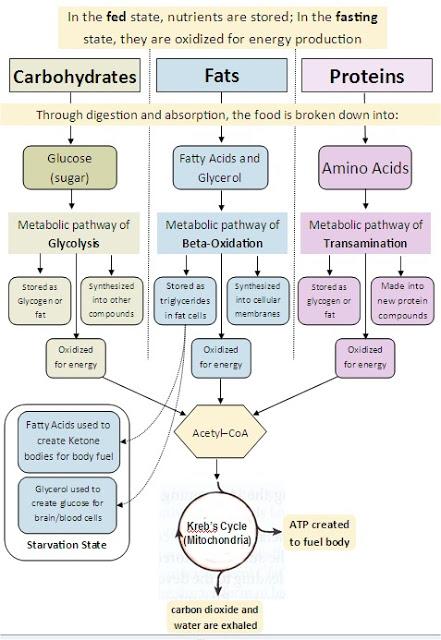 Keterkaitan Metabolisme Karbohidrat Lemak Dan Protein : keterkaitan, metabolisme, karbohidrat, lemak, protein, Hubungan, Katabolisme, Lipid,, Karbohidrat, Protein, Konsep, Biologi