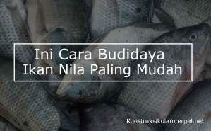 Ini Cara Budidaya Ikan Nila Paling Mudah!