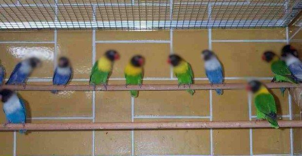 hukum memelihara burung