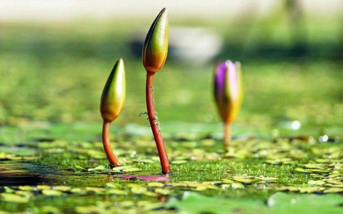 bunga lili