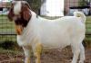 hukum makan kambing