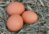 telur dalam bangkai ayam