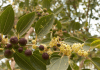 pohon bidara sidr