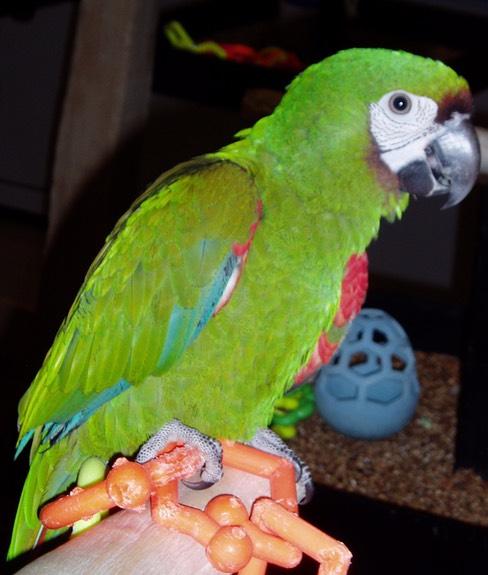 severe macaw kookaburra bird
