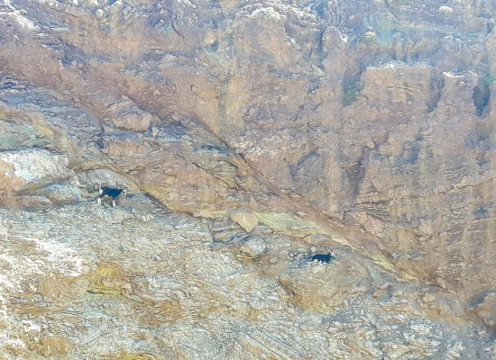 Kri-Kri goats Cretan Ibex in Greece