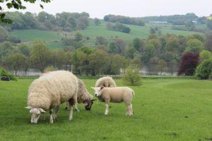 Yorkshire Sculpture Park: grazing sheep