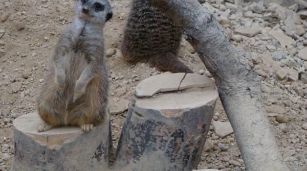 Tropical World: meerkat