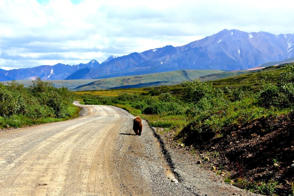 Denali National Park: grizzly walking on Denali Park Road